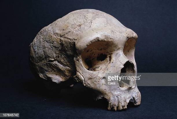 The fossilized skull of Neanderthal Gibraltar Man on display at the Natural History Museum in London February 1968