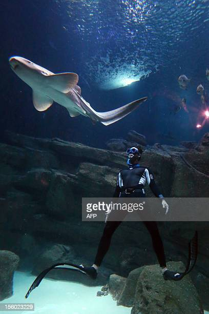 The four times apnoea world record holder Pierre Frolla dives near in Zebra shark at the Aquarium of Paris on November 11 2012 in Paris The pool of 3...
