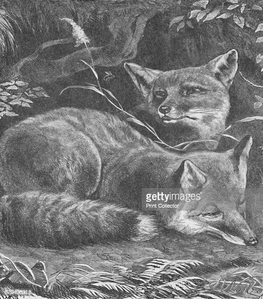 The Fox at Home' c1900 From Baby's Animal Picture Book by Aunt Louisa [Frederick Warne Co London New York c1900] Artist Helena J Maguire