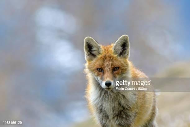 the fox - プール湾 ストックフォトと画像