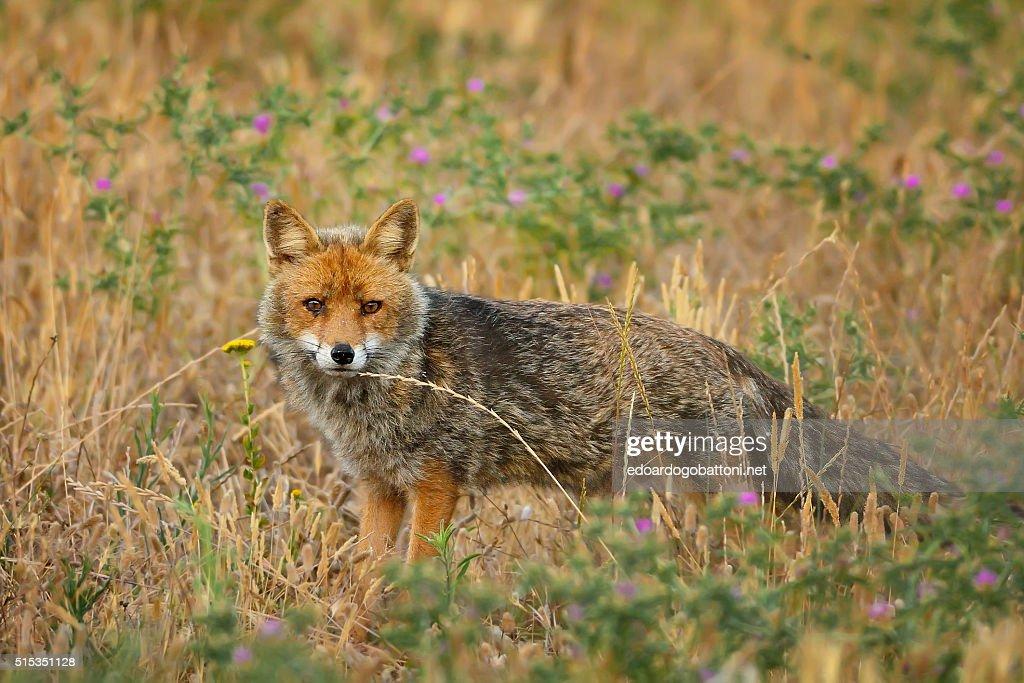 the fox : Foto stock