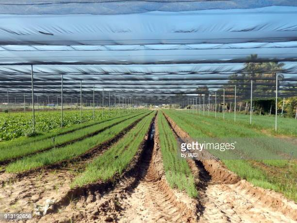 the freshly planted field, perspective of the rows - sharon plain stock pictures, royalty-free photos & images