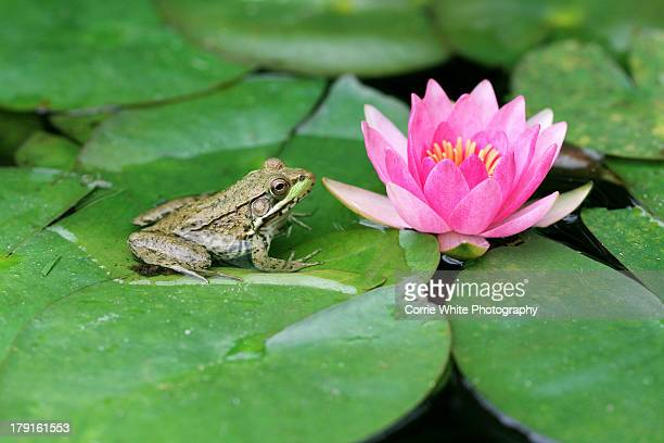 the frog & the lily - grenouille photos et images de collection