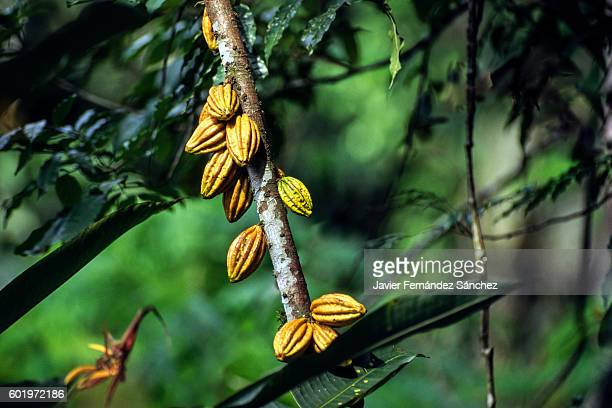 The fruit of the cocoa plant in Costa Rica.