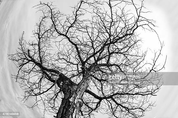 The fruitless fig tree Leafless old dry tree through the gray sky in the background Fish eye