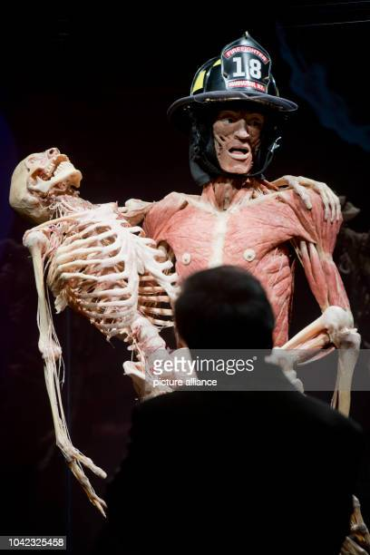 The full body plastinate The Fireman is on display in the exhibition Body Worlds by plastinator Gunter von Hagens in RostockGermany 14 June 2013 The...