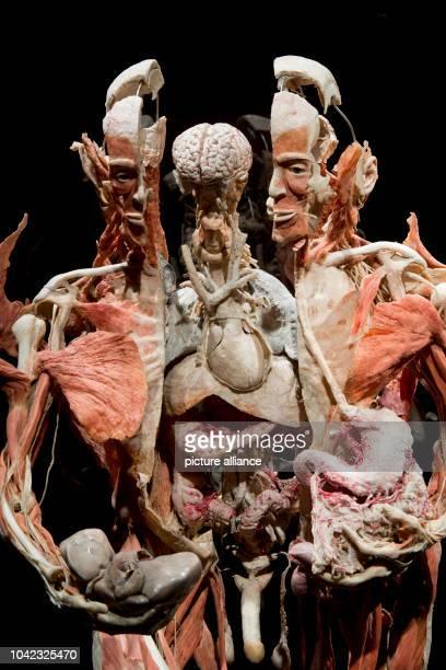 The full body plastinate The Organ Presenter stands in the exhibition Body Worlds by plastinator Gunter von Hagens in RostockGermany 14 June 2013...