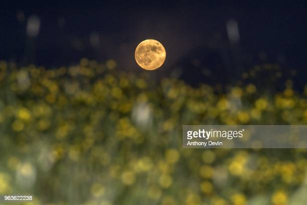 The Full Moon known in May as the Flower Moon rises above flowering crops near AshtonUnderLyne on May 29 2018 in Manchester England