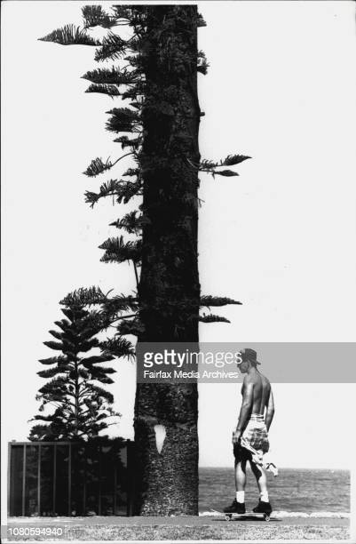 The full size pines ***** Manly Beach Residents Complaining that the new smaller ones will grow as large and block their viewA mature Norfolk Island...