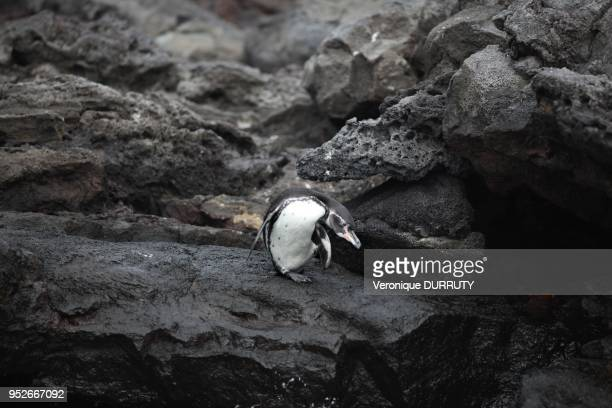 The Galapagos Penguin is a penguin endemic to the Galapagos Islands. It is the only penguin that lives north of the equator in the wild;it can...