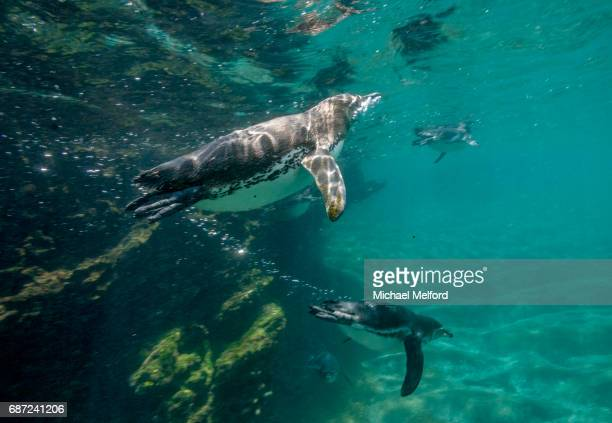 the galapagos penguin (spheniscus mendiculus) is a penguin endemic to the galápagos islands. it is the only penguin that lives north of the equator in the wild. it can survive due to the cool temperatures resulting from the humboldt current and cool water - galapagos penguin stock pictures, royalty-free photos & images
