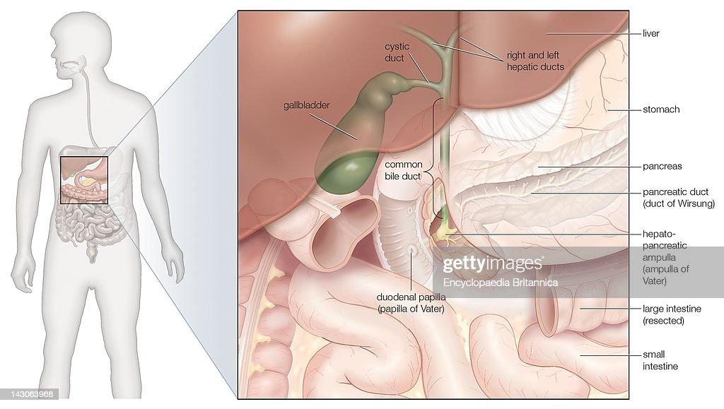 Diagram Of Gallbladder Location In Body Trusted Wiring Diagram