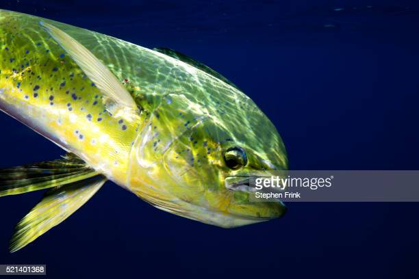 the gamefish, coryphaena hippurus, or dolphin - dolphin fish stock pictures, royalty-free photos & images