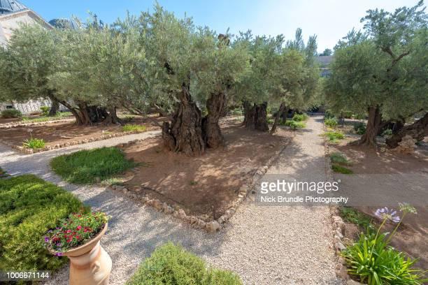 the garden of gethsemane, jerusalem, israel - garden of gethsemane stock pictures, royalty-free photos & images