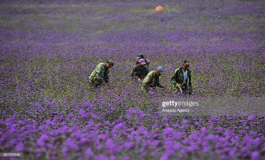 Large Tracts Of Lavender In Shenyang : News Photo