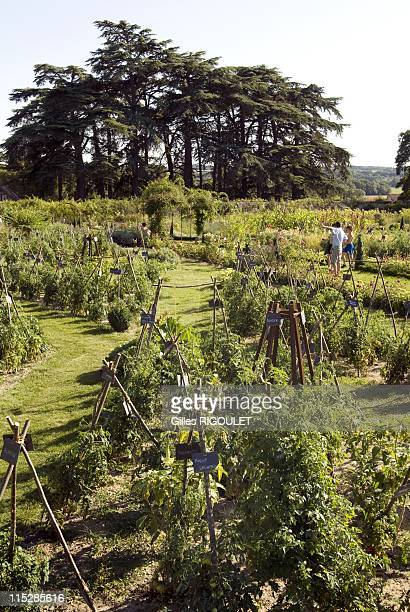 The gardens of Conservatory of Tomato on August 2009 in Conservatory of Tomato, Castle de la Bourdaisiere, Montlouis sur Loire, France. Conservatory...