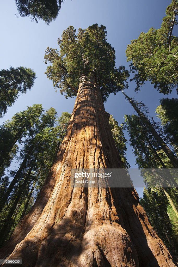 The General Sherman Tree (Sequoiadendron giganteum), the largest tree in the world in Sequoia National Park in in East Central California, Sierra Nevada, California, United States of America : Foto de stock