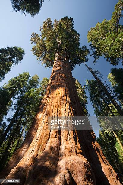The General Sherman Tree (Sequoiadendron giganteum), the largest tree in the world in Sequoia National Park in in East Central California, Sierra Nevada, California, United States of America