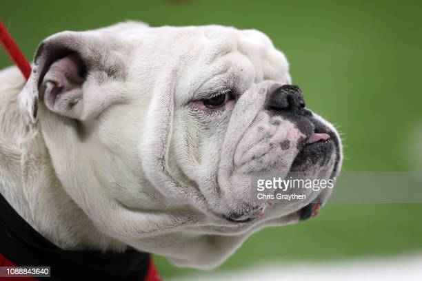 The Georgia Bulldogs mascot UGA looks on during the during the Allstate Sugar Bowl against the Texas Longhorns at MercedesBenz Superdome on January...