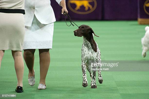 The German Short Haired Pointer wins the Sporting group on the second day of the 140th annual Westminster Kennel Club dog show at Madison Square...