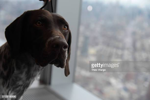 The German Shorthaired Pointer and winner of the 2016 Westminster Kennel Club Winner Visits One World Observatory at One World Trade Center on...
