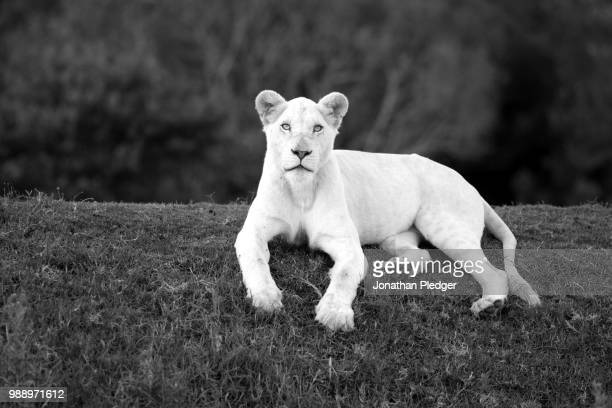 the ghost princess - white lion stock photos and pictures