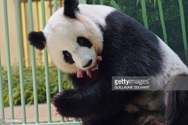 """The giant panda Huan Huan, which means """"Happy"""" in Chinese, and her twin cubs are seen inside their enclosure after she gave birth at Beauval Zoo in..."""