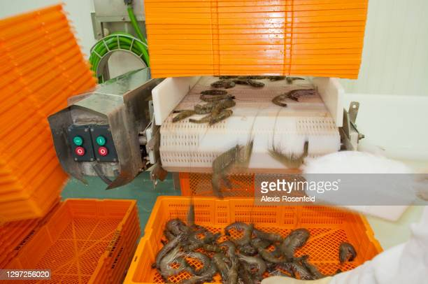 The giant tiger prawns are being prepared, in order to be sold, on May 05 Madagascar. Unima aquaculture farms are Madagascar's most important shrimp...