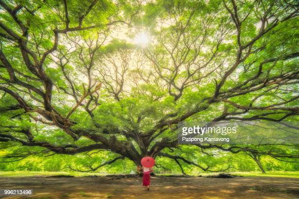 the giant tree in kanchanaburi. - big bulge stock pictures, royalty-free photos & images