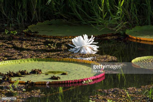 The Giant Water Lily or Queen Victoria's Water Lily Victoria amazonica is the world's largest water lily with lily pads up to 3 meters or 98 feet in...