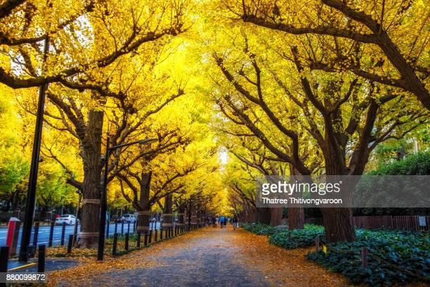the ginkgo biloba tree, yellow leaf background, meiji jingu gaien park, japanese - ginkgo tree stock pictures, royalty-free photos & images