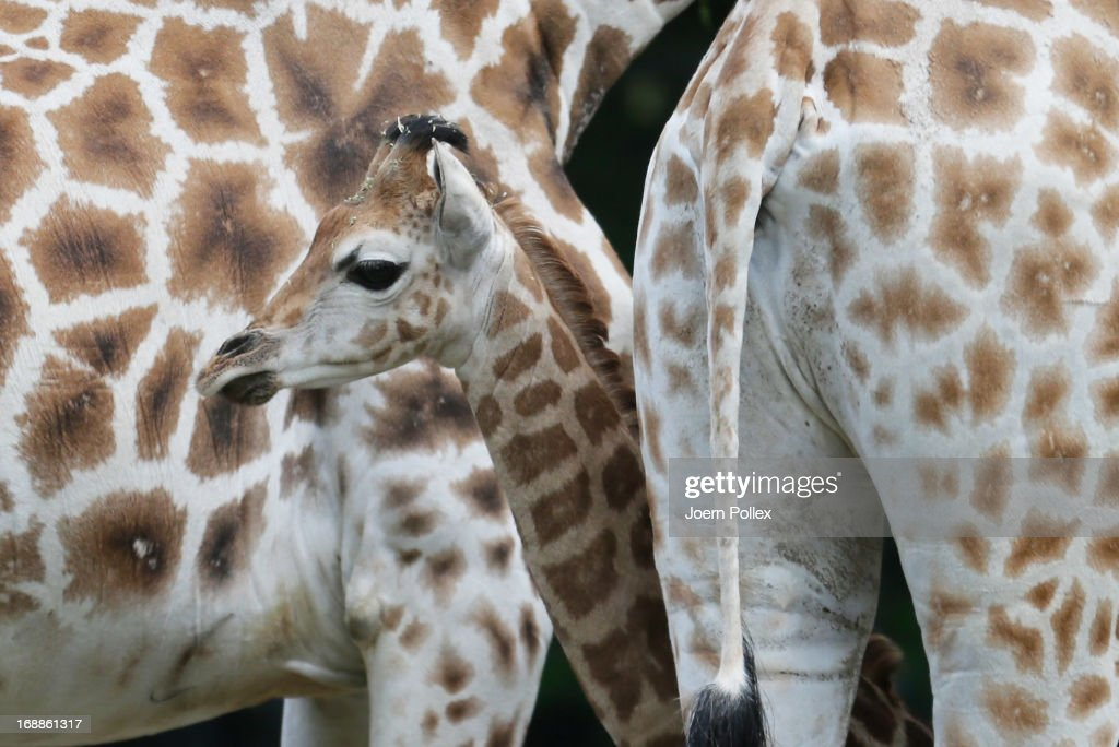 The giraffe Tamu (C) is measured by zookeepers during a baby animals inventory at Hagenbeck zoo on May 16, 2013 in Hamburg, Germany.