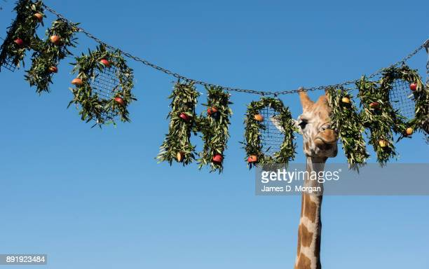 The giraffes discover their Ho Ho Ho wreath of treats at Taronga Zoo on December 14 2017 in Sydney Australia The Christmasthemed treats and...