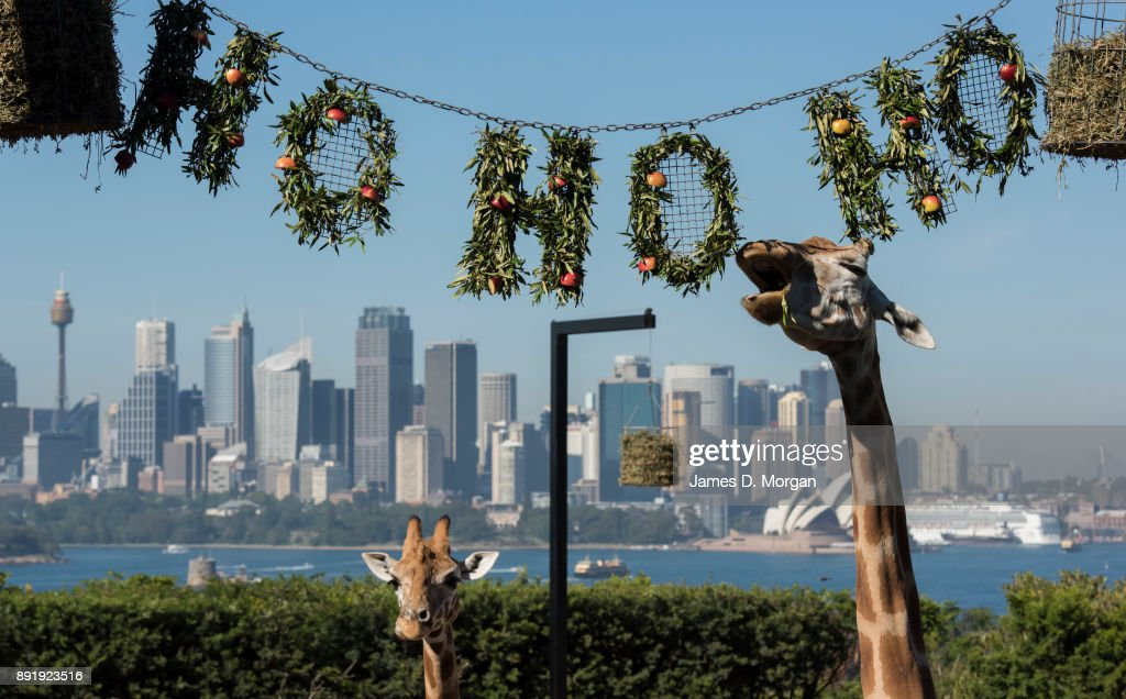 Animals Enjoy Christmas Treats At Taronga Zoo