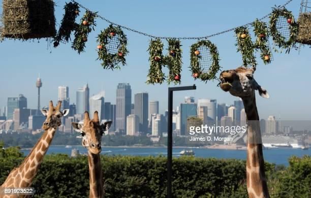 The giraffes discover their Ho Ho Ho wreath of treats at Taronga Zoo on December 14 2017 in Sydney Australia The Christmasthemed treats and...