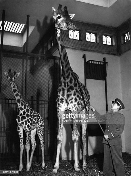The giraffes of the Zoo of the Jardin des Plantes 1943 in Paris France
