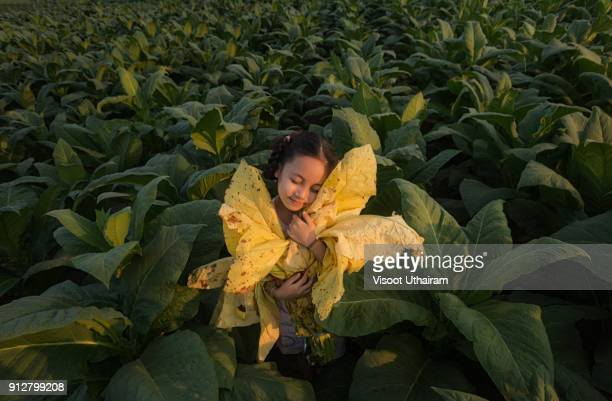The girl holds the tobacco leaf at the tobacco farm,