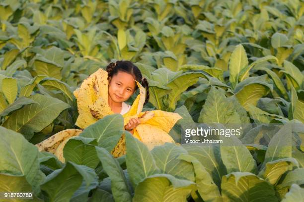 The girl holds the tobacco leaf at the tobacco farm.