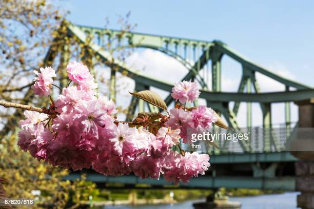 The Glienicke Bridge with cherry blossoms (German: Glienicker Brücke) between Berlin and Potsdam