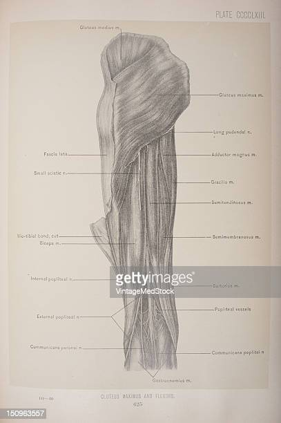 The gluteus maximus is the largest muscle of the body and the most superficial one of the buttock 1903 From 'Surgical Anatomy The Treatise of the...