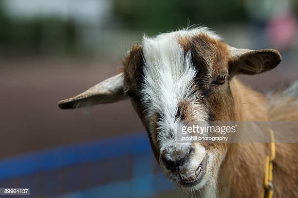 the goat  - 盛岡市 ストックフォトと画像