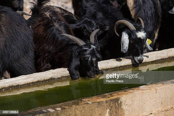 The goats herd of Yoruk shepherd Refik Ogan are watered at a spring on the trail towards the Anatolian Mediterranean coast during the seasonal...