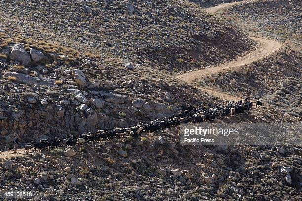 The goats herd of Yoruk shepherd Refik Ogan climbs the trail towards the mountain pass between the Taurus Mountains and the Anatolian Mediterranean...