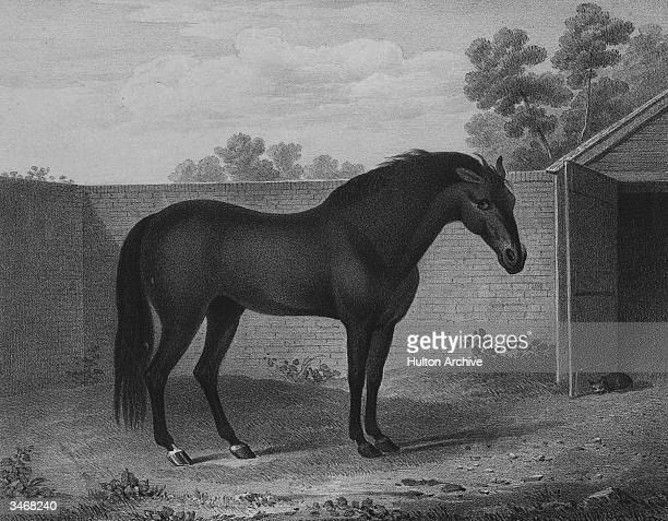 The Godolphin Arabian property of The Earl of Godolphin one of three horses from whom all modern thoroughbred racehorses are descended circa 1740 His...