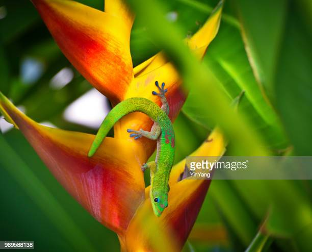 the gold dust day gecko of hawaii - geco foto e immagini stock