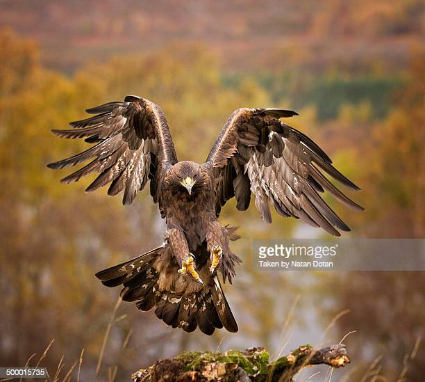 the golden eagle landing - aquila reale foto e immagini stock
