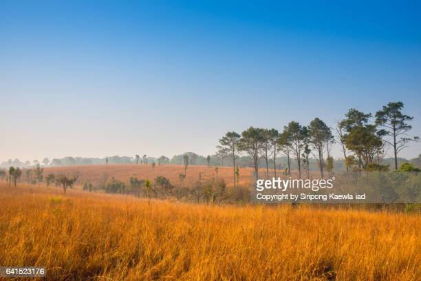 The golden grassland with pine trees in the morning inside Thung Nang Phaya National Park.