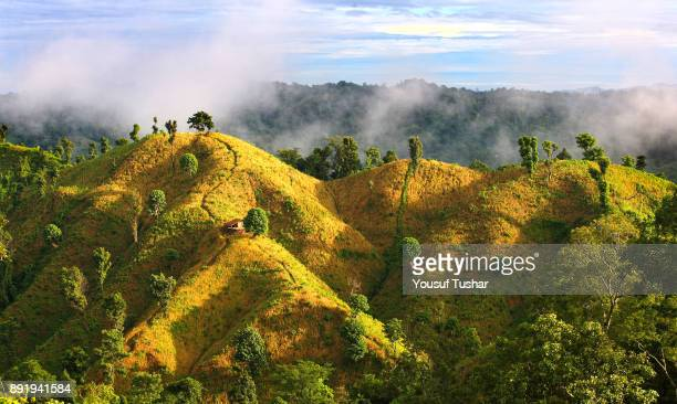 THANCHI BANDARBAN BANGLADESH The golden paddy field under zoom cultivation on the top of the hills at Bandarban one of the hill districts located in...
