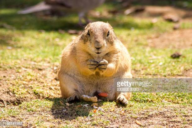 the gopher dog eat nuts - funny groundhog stock pictures, royalty-free photos & images