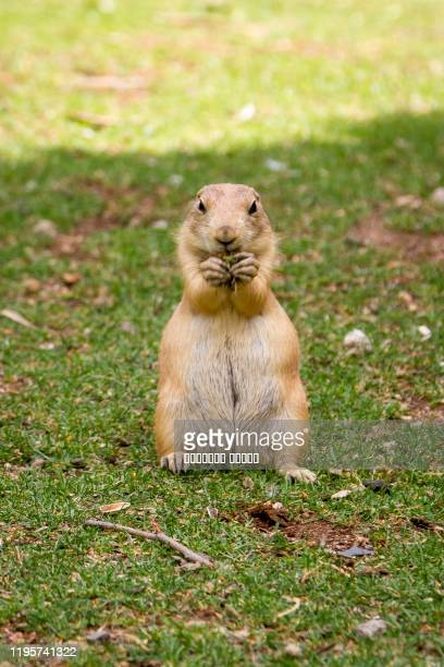 the gopher is watching out for somebody - funny groundhog stock pictures, royalty-free photos & images